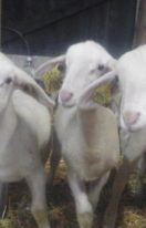 agnelles laitiere