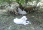 troupeau viande patou